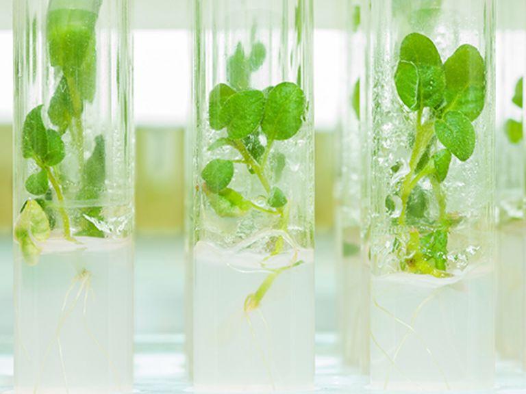 GenEP: Genomeditierte Pflanzen - gentechnisch oder (fast) natürlich?